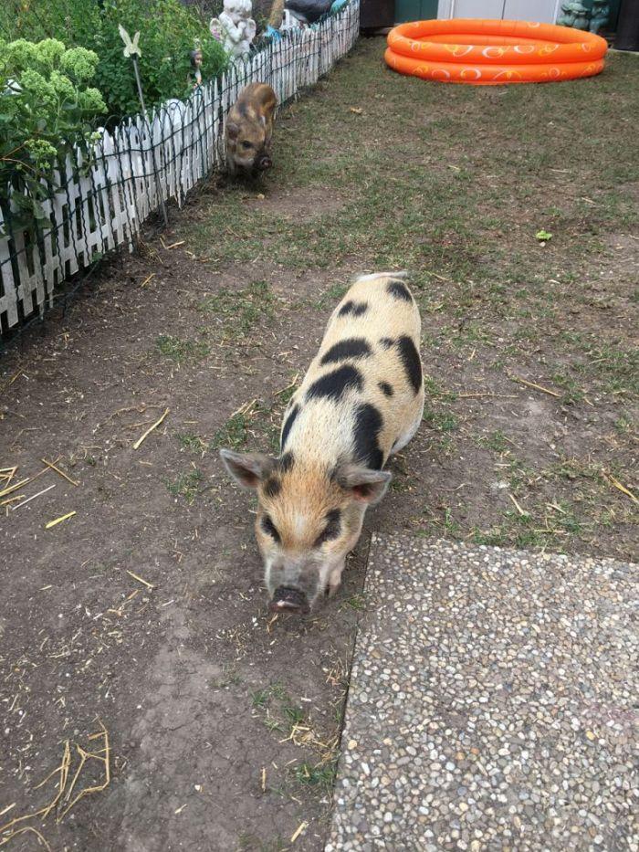 Minischweine Charles und Lillifee